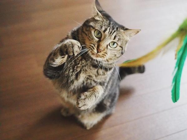格闘家のような構えのキジトラ猫