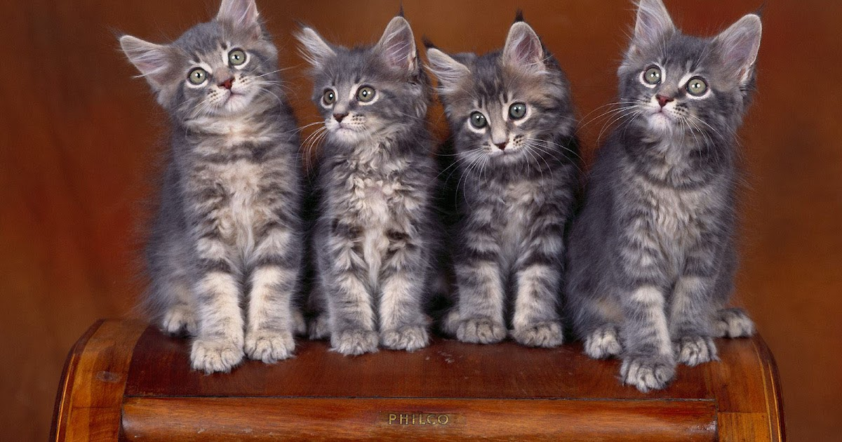 Cute Little Kitten Desktop Wallpapers Wallpapers Maine Coon Kittens