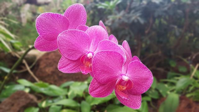 Hoa lan hồ điệp đẹp nhất thế giới 1
