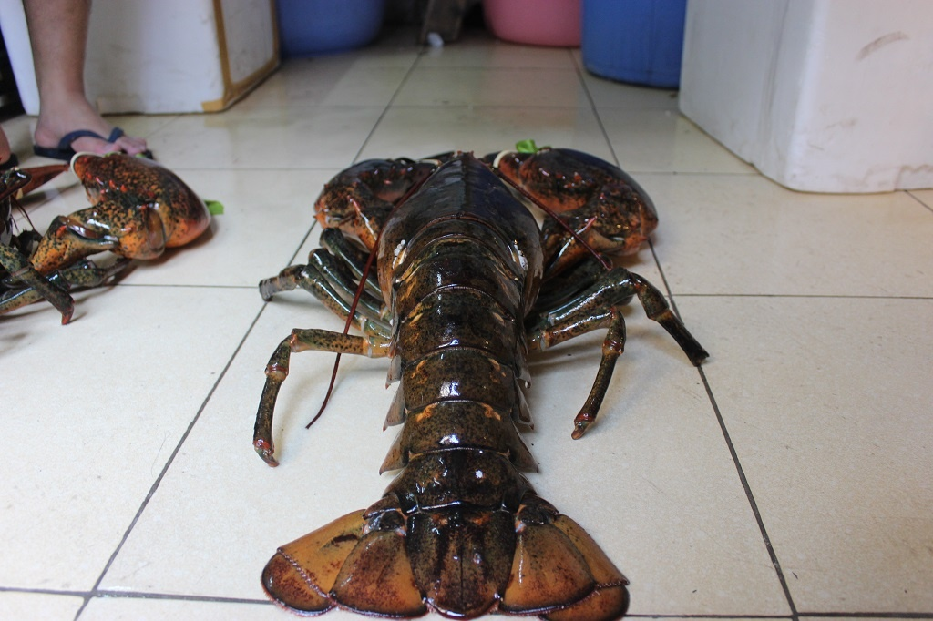 A normal lobster weighs 3-4 kg but this lobster weighs 7.5kg. It is caught by Vietnamese and is ordered by customer for ten million đồng (USD 437.5).
