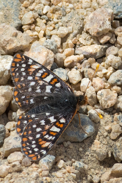 Edith's Checkerspot Butterfly, Mount Elbert