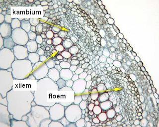 Pengertian Dan fungsi Jaringan Xilem dan Floem Pada Tumbuhan