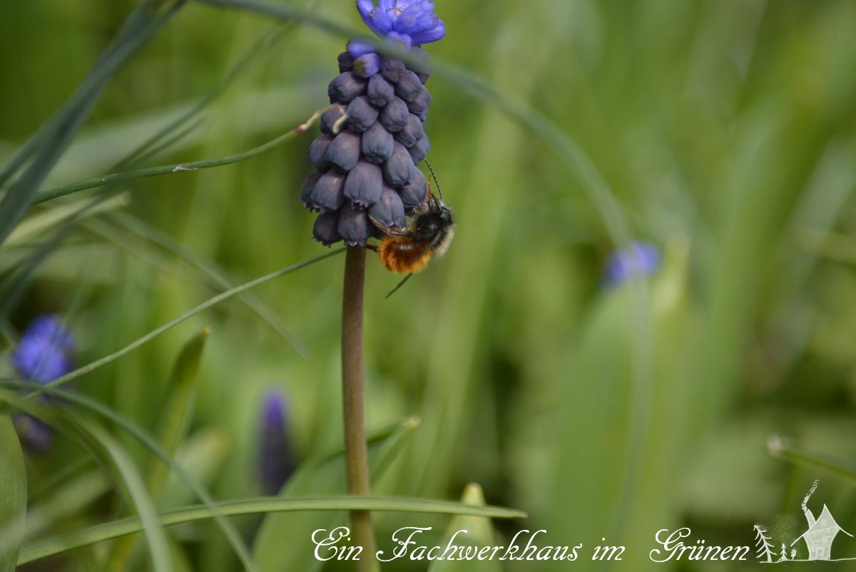 Rote Sandbiene, Bienen, Gartenblog