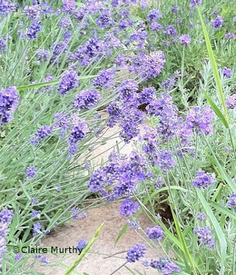 Lavender in Kent. Wildlife and kitchen garden blog.