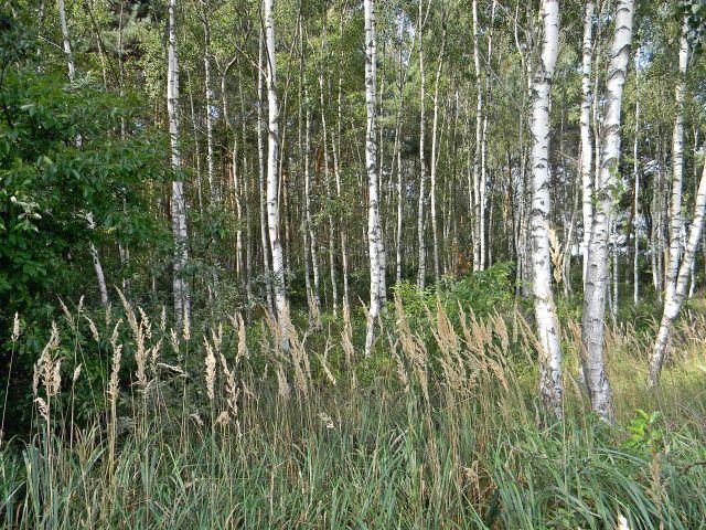 drzewa w lesie, trawy, brzozy