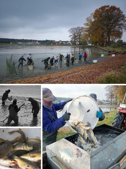 Panorama Fischweiher, Szenen beim Fischen, Karpfen in der Wanne, Karpfen kommen in einen Tank