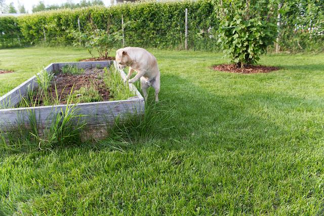 chihuahua, kasvulaatikko, mustaherukka, piha, puutarha