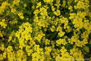 Smagliczka skalna- Alyssum saxatile (Aurinia saxatilis)