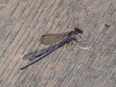 Violet Dancer (Argia fumipennis violacea)