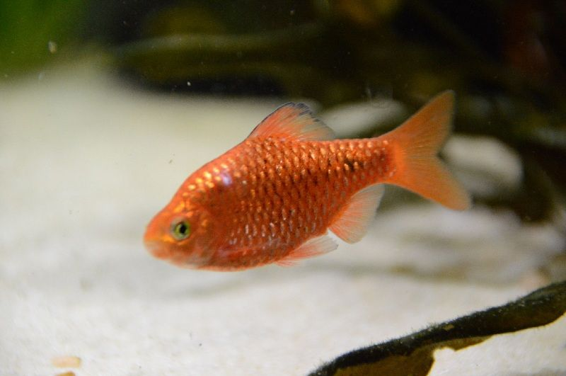 ikan barbir betina