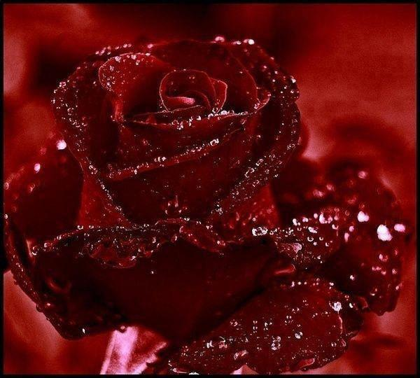Flores-rosas-color_guinda-rojo_quemado-02