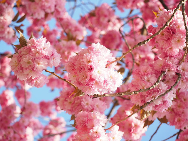 cherryblossom-printemps-nature