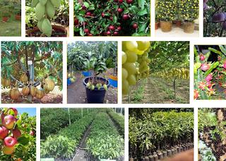 jual bibit tanaman buah online