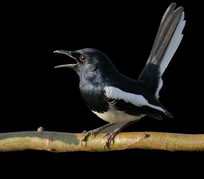 Gambar Png Burung Kacer