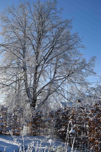 Avenbok Carpinus betulus Häck