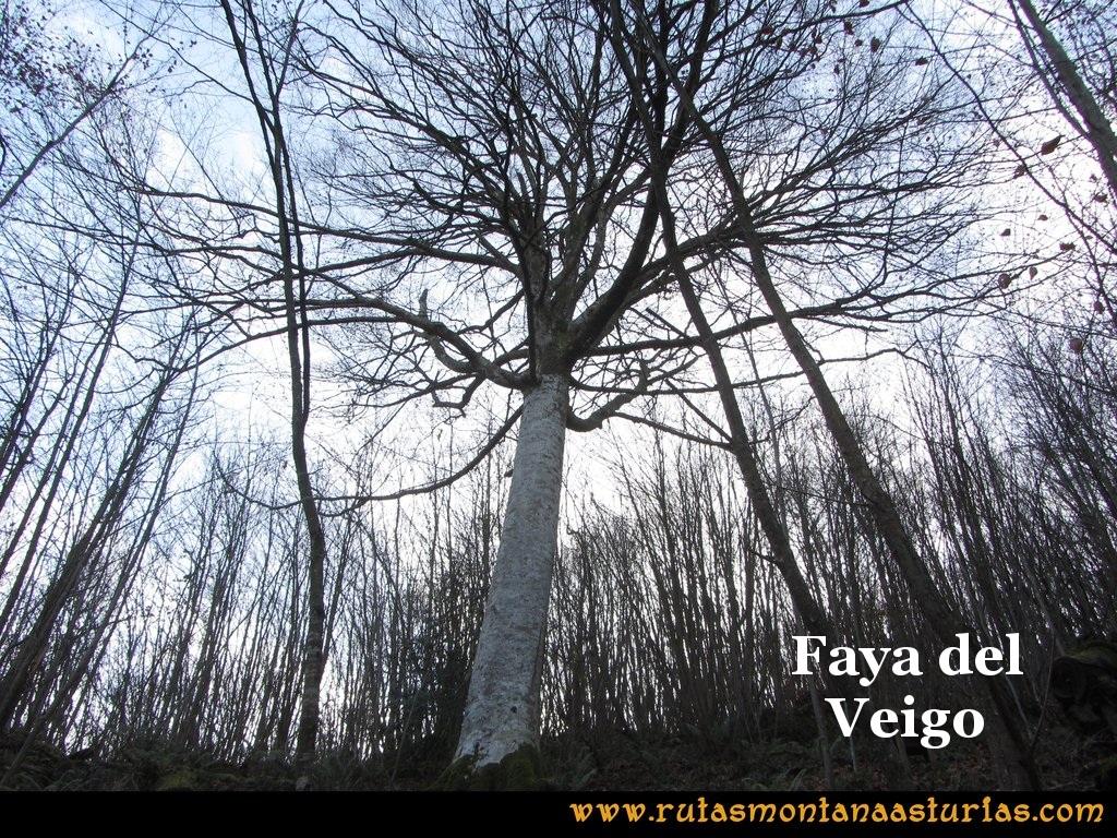 Senda de Bustavil, Tineo, PR AS-288: Faya del Veigo