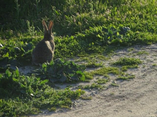 Conejos y el lince