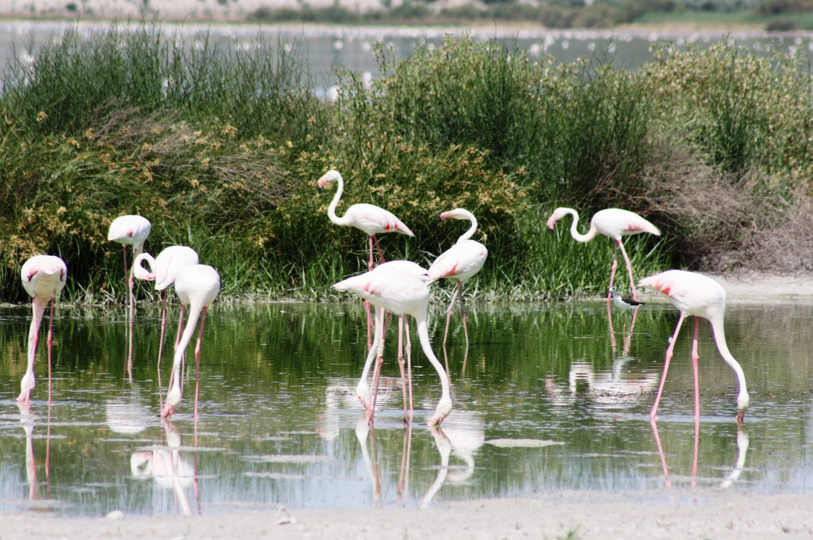 Las colonias de flamenco rosa también son maravillas naturales típicas de Andalucía.