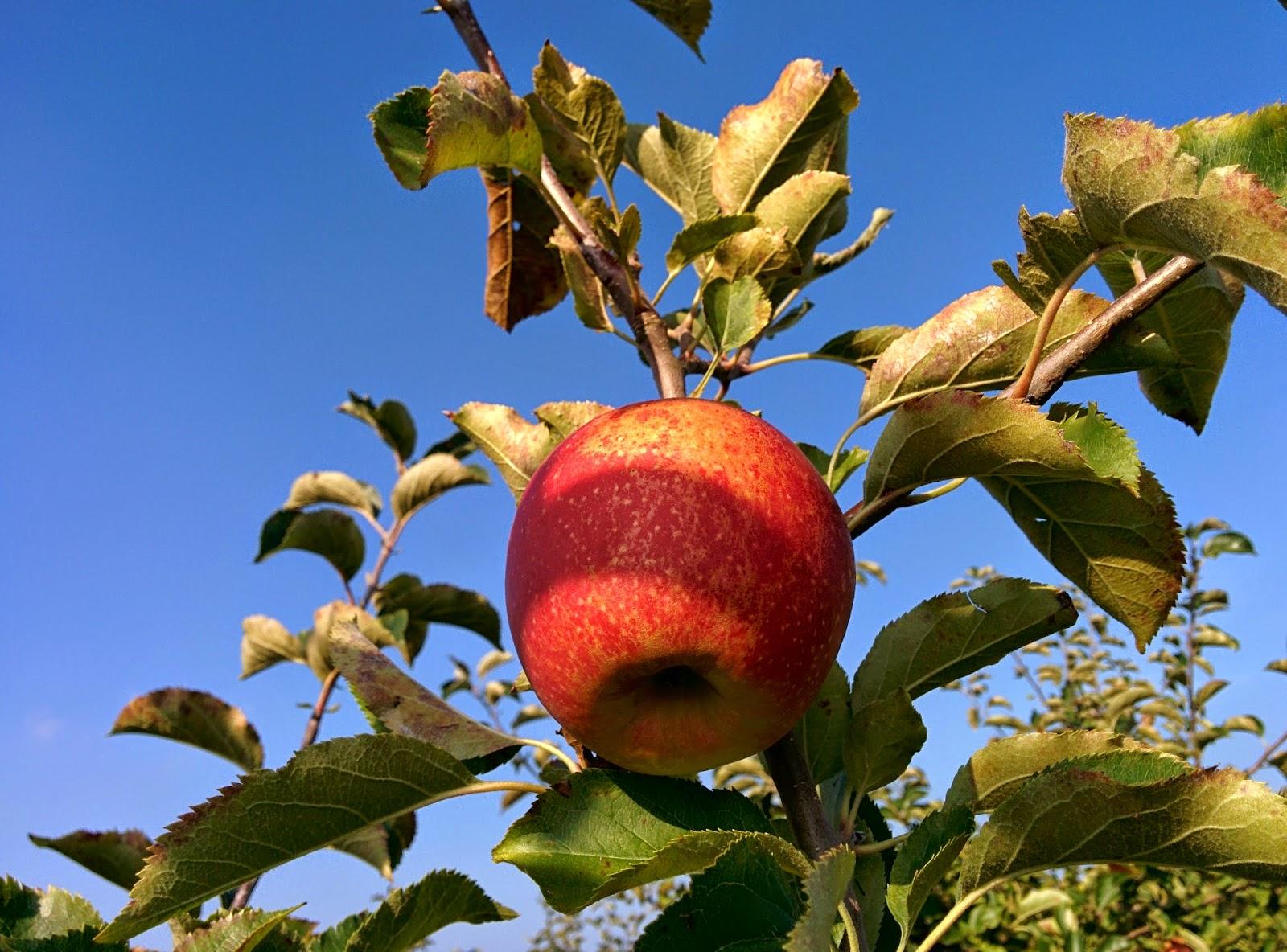 The Real Treat Apfel Mohn Marzipan Blechkuchen