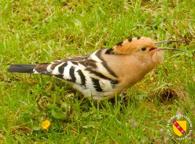 BAINVILLE-SUR-MADON (54) - Des oiseaux rares : les huppes fasciées