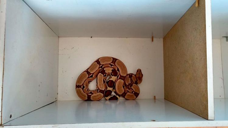 Jibóia encontrada na casa de Gemim - Foto: Reprodução