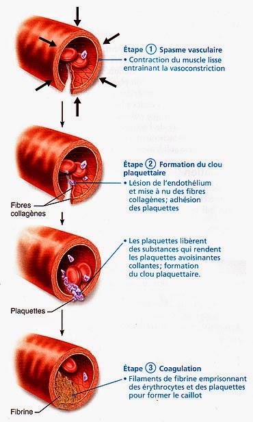 etapes hémostase primaire infirmier