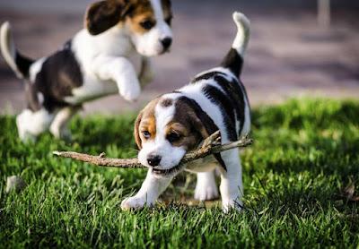 Beagle Dog personality