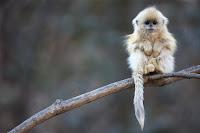 Wildlife Photographer of the Year scimmia