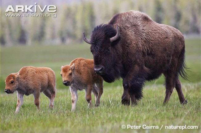 Bisonte Bison bison