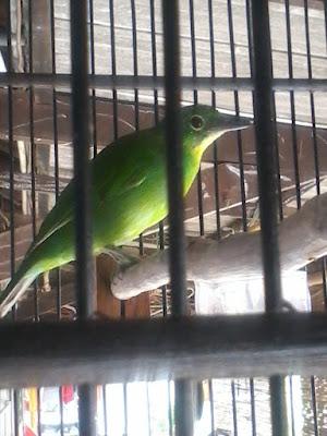 burung cucak ijo juga bisa mengalami over birahi 6 Buah-buahan Yang Dapat Menurunkan Birahi Pada Burung Cucak Ijo