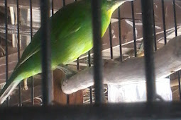 6 Buah-Buahan Yang Bisa Menurunkan Birahi Pada Burung Cucak Ijo