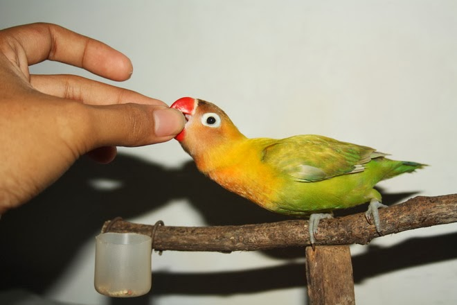 lovebird muka salem, lovebird harga, mengenal lovebird, lovebird kacamata topeng,