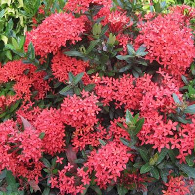 6 Khasiat Ramuan Bunga Asoka untuk Kesehatan