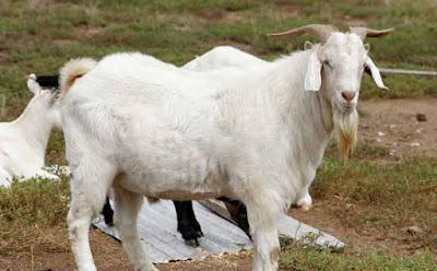 kambing gede