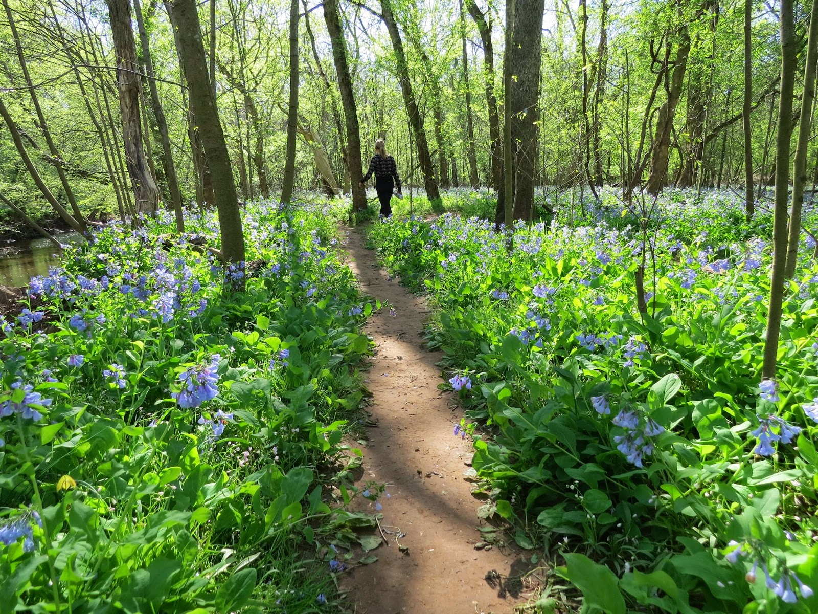 Virginia's-Bluebells-at-Bull-Run