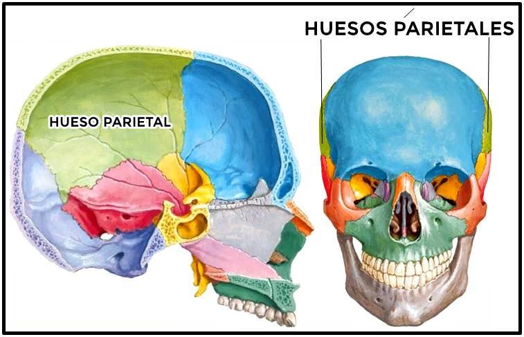 Huesos parietales del cráneo