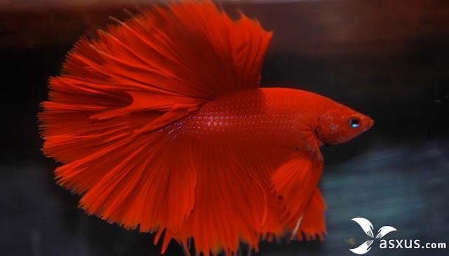 7 Jenis Ikan Cupang Beserta Gambar, Nama, Ciri, dan Harganya