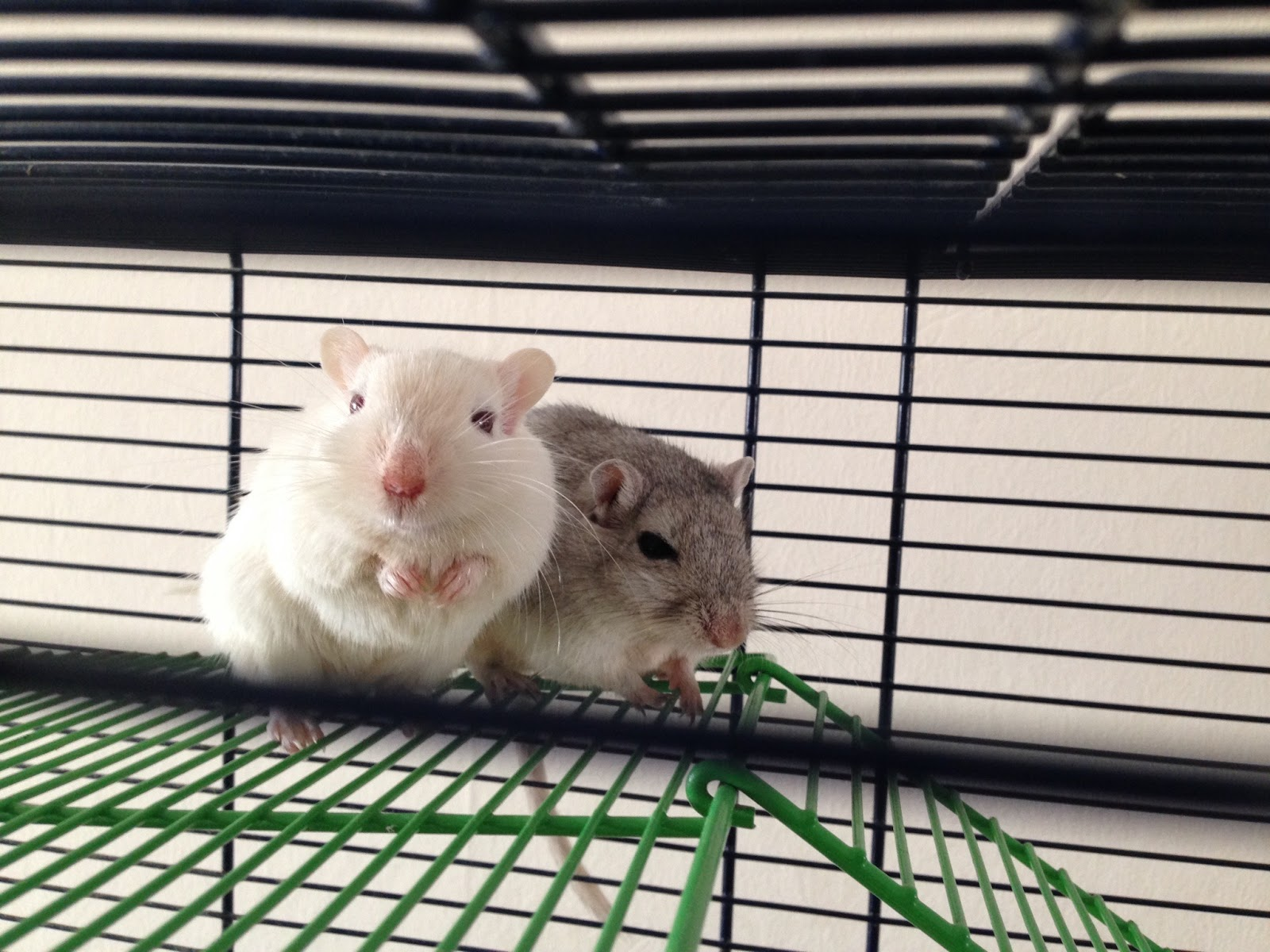 Gerbils - Chad and Troy