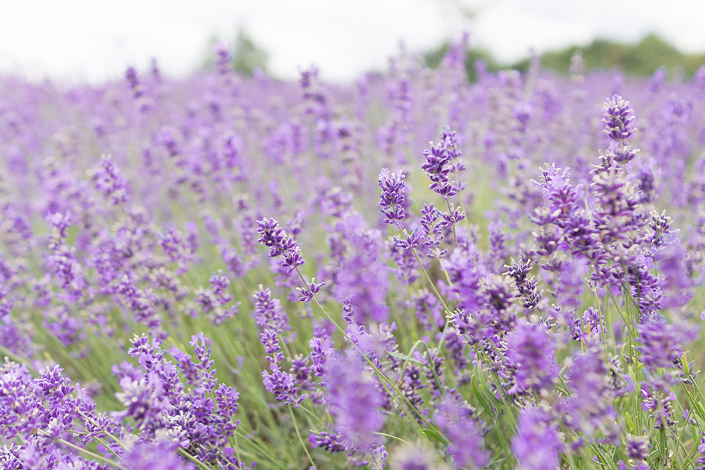 Barely-There-Beauty-blog-Mayfield-lavender-photography