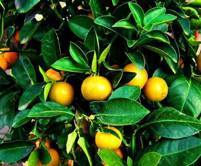 Jeruk mandarin segar