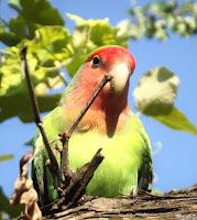 perawatan burung love bird mudah