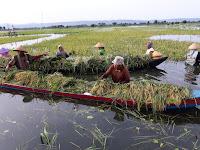 Terendam Air, Petani di Pati Terpaksa Harus Panen Dini
