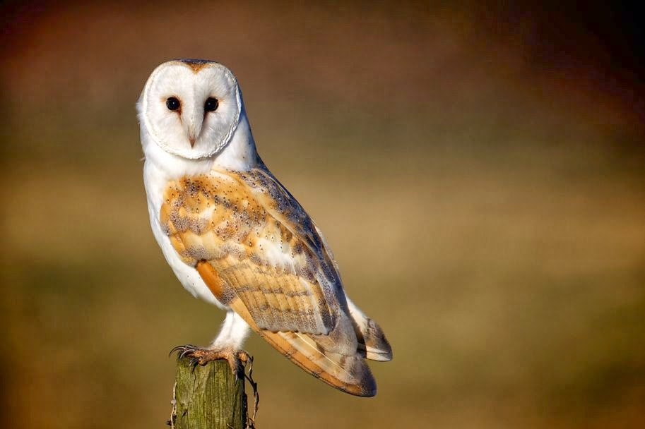 20 Incredible Pictures of Barn Owls
