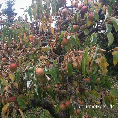 Dürre bei Äpfeln