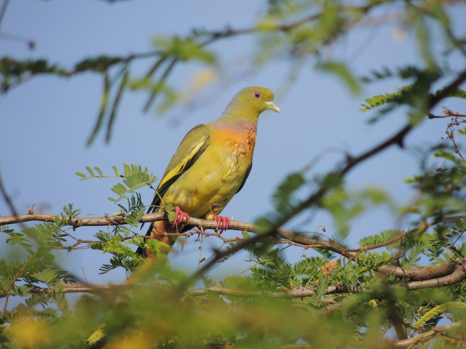 deras biodiversity orangebreasted green pigeon