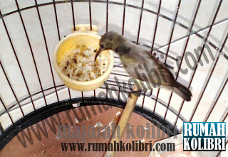 cara mudah mengajari kolibri makan kroto