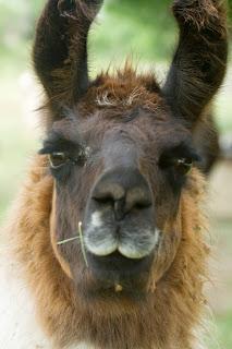 Portrait of a llama or maybe an alpaca
