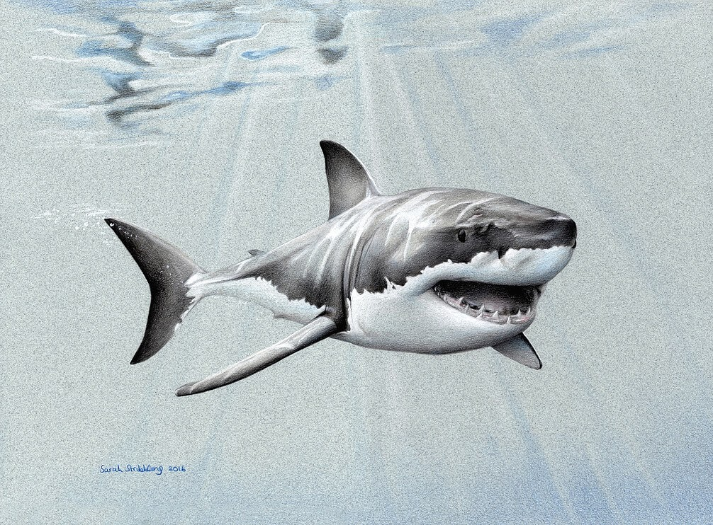 07-Great-White-Shark-Sarah-Stribbling-A-Wildlife-and-Pet-Portrait-Artist-www-designstack-co