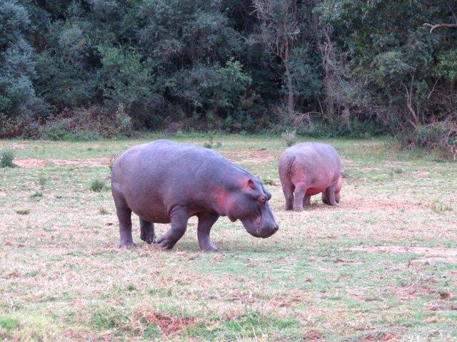 Hippos at Botlierskop