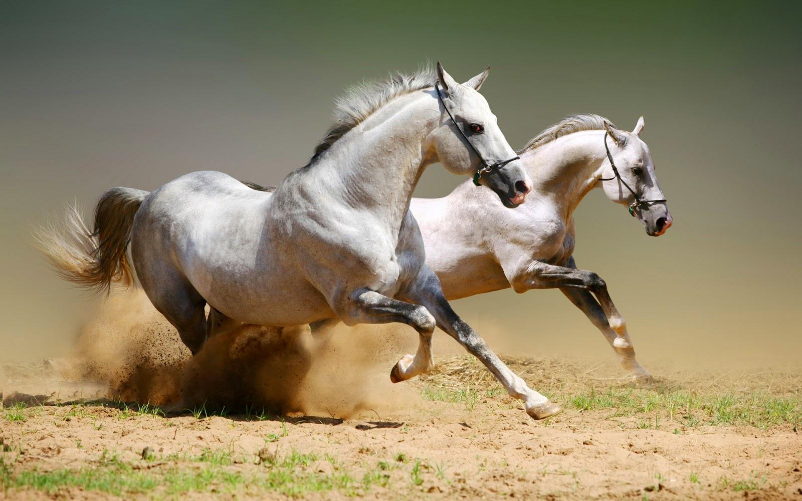 Wallpaper met witte galopperende paarden